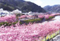 早春の花散歩 伊豆「河津桜まつり」 三島の梅の名所「妙法華寺」と美肌の名湯・伊豆長岡温泉