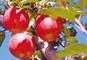 【緊急企画!!】群馬りんご狩りと乳白色の名湯「万座温泉」