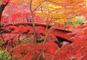 深紅に彩られた「弥彦もみじ谷」と日本海魚のアメ横「寺泊」