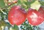 山形りんご狩りと乳白色の名湯・蔵王温泉