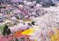 ふくしまの春を求めて 花見山公園とふくしま桜紀行