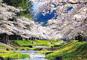 日中線跡地約1,000本のしだれ桜と観音寺川の桜並木
