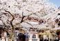風情ある古都・鎌倉でのお花見や小町通りの散策 鎌倉桜紀行
