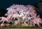 夜桜船、桜橋周遊クルーズと幻想的な大名庭園しだれ桜ライトアップ