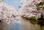 青森・弘前公園 秋田・角館 1度は行きたいみちのく二大桜名所めぐり