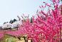 桜名所100選「赤城南面千本桜」と猿ヶ京温泉