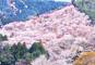 JRで行く 吉野千本桜、うるわし奈良と春爛漫の京都