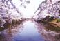 置賜さくら巡りと乳白色の名湯・蔵王温泉
