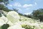 白くてもこもこ紫陽花の斜面と川越ランチバイキング