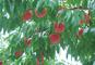 【8月限定企画!】桃1箱お土産!桃とぶどうのダブル狩りとブランド牛・米沢牛すき重膳