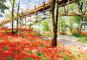 真紅の絨毯!巾着田約500万本の曼珠沙華と川越名物「いも会席」