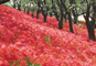 秋満喫!梨と巨峰のダブル狩りと約350万本の曼珠沙華の赤い絨毯