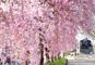 日中線跡地しだれ桜並木と鶴ヶ城公園、田舎のごっつぉ料理