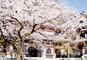 風情ある古都・鎌倉でのお花見や小町通りの散策 鎌倉 桜紀行
