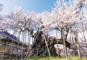 樹齢約2,000年日本最古の神代桜、身延山しだれ桜と下部温泉
