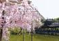 JRで行く 京都の桜名所めぐりと京の奥座敷・湯の花温泉