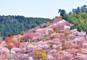 JRで行く 吉野千本桜、いにしえの奈良「世界遺産」めぐり