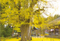 会津ころり三観音めぐりと黄金に染まる長床の大イチョウ